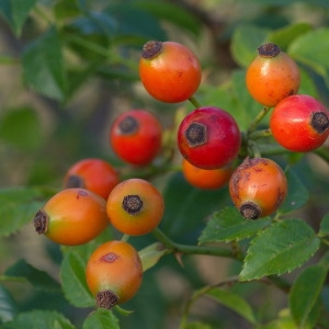 Photographie n°84678 du taxon Rosa sp.