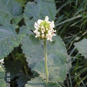 - Stachys alopecuros (L.) Benth. [1834]