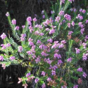 Erica terminalis Salisb. (Bruyère de Corse)