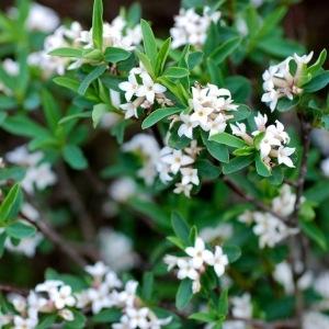Daphne alpina L. (Daphné des Alpes)