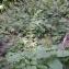 Michel Pansiot - Salvia glutinosa L. [1753]