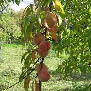Photographie n°84790 du taxon Prunus persica (L.) Batsch