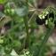 Gisèle ARLIGUIE - Solanum nigrum L.