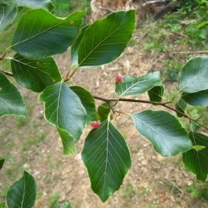 Photographie n°85001 du taxon Fagus sylvatica L.