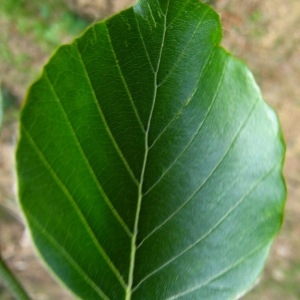 Photographie n°85002 du taxon Fagus sylvatica L.