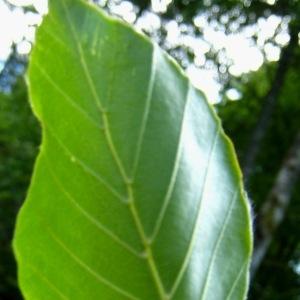Photographie n°85003 du taxon Fagus sylvatica L.