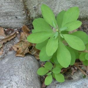 Photographie n°85088 du taxon Euphorbia peplus L. [1753]