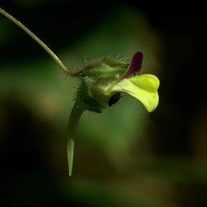 Kickxia elatine (L.) Dumort. (Linaire élatine)