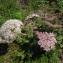 Claire Felloni - Daucus carota subsp. gummifer (Syme) Hook.f. [1884]