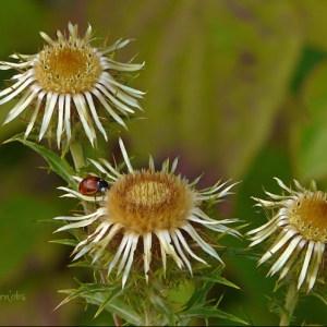 Photographie n°85230 du taxon Carlina vulgaris L.