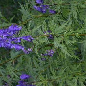 Photographie n°85242 du taxon Aconitum napellus L. [1753]
