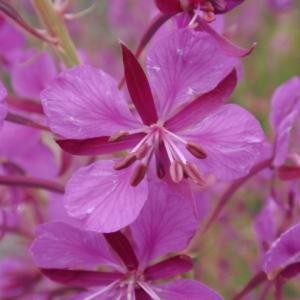 Epilobium angustifolium L. (Épilobe à feuilles étroites)