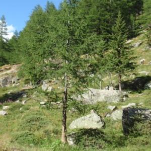 Photographie n°85647 du taxon Larix decidua Mill.
