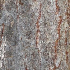Photographie n°85651 du taxon Larix decidua Mill.