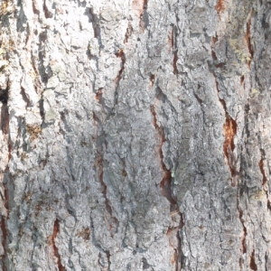 Photographie n°85652 du taxon Larix decidua Mill.