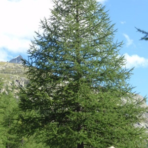 Photographie n°85654 du taxon Larix decidua Mill.