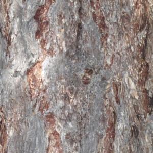 Photographie n°85661 du taxon Larix decidua Mill.