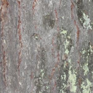 Photographie n°85663 du taxon Larix decidua Mill.
