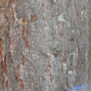 Photographie n°85664 du taxon Larix decidua Mill.