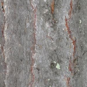 Photographie n°85665 du taxon Larix decidua Mill.
