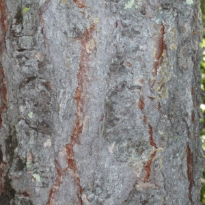 Photographie n°85666 du taxon Larix decidua Mill.