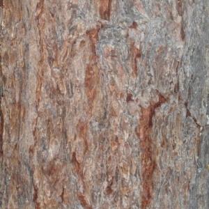Photographie n°85670 du taxon Larix decidua Mill.