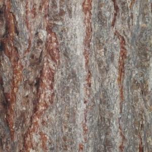 Photographie n°85671 du taxon Larix decidua Mill.