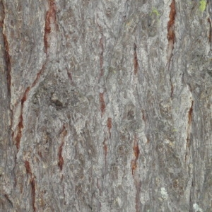 Photographie n°85675 du taxon Larix decidua Mill.