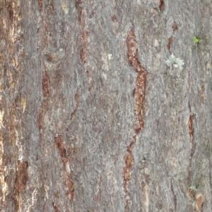 Photographie n°85677 du taxon Larix decidua Mill.