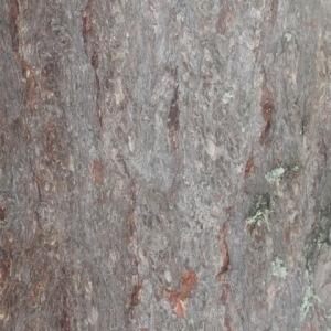 Photographie n°85678 du taxon Larix decidua Mill.