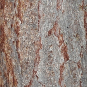 Photographie n°85686 du taxon Larix decidua Mill.