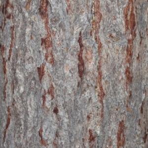 Photographie n°85687 du taxon Larix decidua Mill.