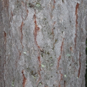 Photographie n°85688 du taxon Larix decidua Mill.