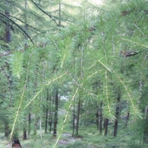 Photographie n°85689 du taxon Larix decidua Mill.