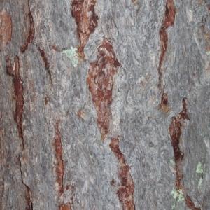 Photographie n°85690 du taxon Larix decidua Mill.