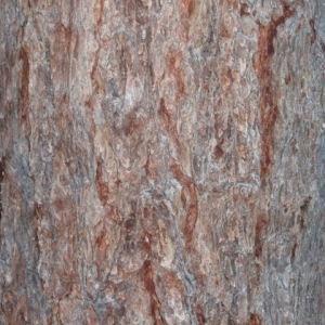 Photographie n°85691 du taxon Larix decidua Mill.