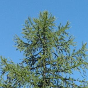 Photographie n°85702 du taxon Larix decidua Mill.