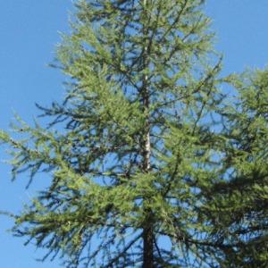 Photographie n°85703 du taxon Larix decidua Mill.
