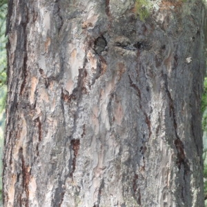 Photographie n°85731 du taxon Larix decidua Mill.