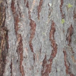 Photographie n°85741 du taxon Larix decidua Mill.