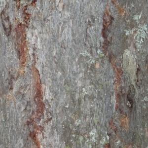 Photographie n°85742 du taxon Larix decidua Mill.