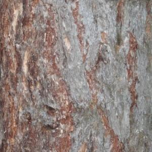 Photographie n°85744 du taxon Larix decidua Mill.