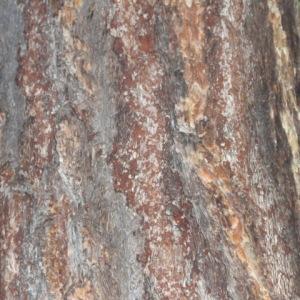 Photographie n°85748 du taxon Larix decidua Mill.