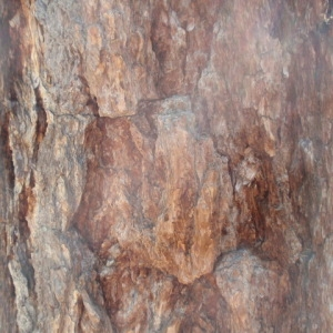 Photographie n°85758 du taxon Larix decidua Mill.