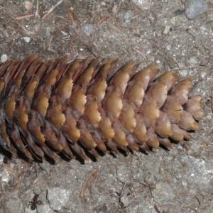Photographie n°85817 du taxon Picea abies (L.) H.Karst.