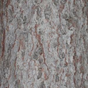 Photographie n°85822 du taxon Picea abies (L.) H.Karst.