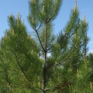 Photographie n°85906 du taxon Pinus pinaster Aiton [1789]