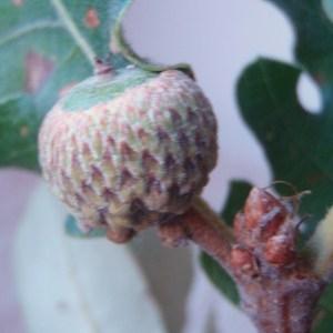 Photographie n°86153 du taxon Quercus pubescens Willd. [1805]