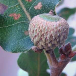 Photographie n°86154 du taxon Quercus pubescens Willd. [1805]