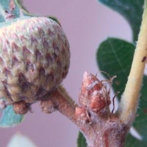 Photographie n°86155 du taxon Quercus pubescens Willd. [1805]
